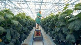 La plataforma móvil está transportando a un empleado del invernadero durante proceso del examen del ` de las plantas almacen de video