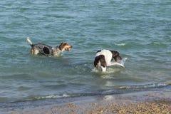 La playa persigue jugar en el agua en un parque del perro Imagenes de archivo