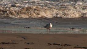La playa y la línea de la playa como pájaro hace una pausa ondas almacen de video