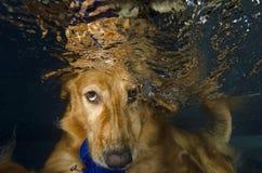 La plongée de crabot et mordent la bille dans le regroupement, vue sous-marine. Photos stock