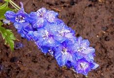 La pluie a couvert la fleur bleue de delphinium de Rich Soaked Soil Photos stock
