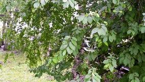 La pluie d'été est allée soudainement humide les arbres banque de vidéos