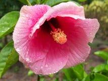 La pluie a embrassé la fleur nouveau-née de ketmie Photo libre de droits