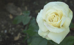 La pluie a embrassé Rose blanche image stock