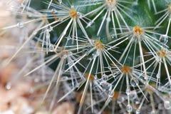 La pluie laisse tomber le cactus épineux d'île Images stock