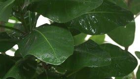La pluie tropicale lourde tombant vers le bas sur le vert laisse - 4k banque de vidéos