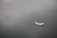 La pluma de pájaro blanca suave aisló la flotación en fondo inmóvil del lago del agua Imagen de archivo