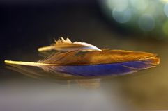 La pluma negra y azul se bañó en luz del sol de oro Fotos de archivo libres de regalías