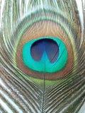 La plume de paon, se ferment vers le haut de détaillé photo libre de droits