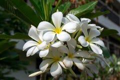 La plumeria è bei fiori Fotografie Stock