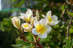 La plumeria è bei fiori Fotografia Stock