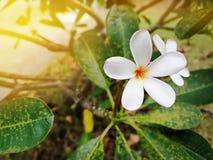 La plumeria bianca del primo piano fiorisce sull'albero immagine stock