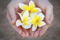La plumeria bianca e gialla fiorisce nelle palme della donna fotografia stock
