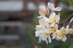 La plumeria bianca e gialla fiorisce (plumeria) Fotografie Stock Libere da Diritti