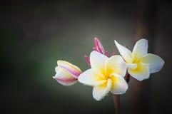 La plumeria bianca e gialla fiorisce (plumeria) Fotografia Stock