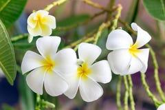 La plumeria bianca e gialla fiorisce su un albero Fotografia Stock