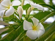 La plumeria bianca fiorisce con la fine sulla vista Immagine Stock