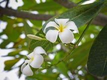 La plumeria bianca fiorisce con la fine sulla vista Fotografia Stock Libera da Diritti