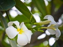 La plumeria bianca fiorisce con la fine sulla vista Fotografie Stock Libere da Diritti