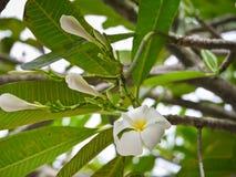 La plumeria bianca fiorisce con la fine sulla vista Immagini Stock