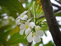 La plumeria bianca fiorisce con la fine sulla vista Fotografia Stock