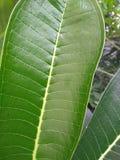 La plumeria copre di foglie è verde immagini stock libere da diritti