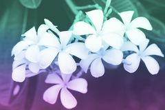 La plumeria fiorisce con i filtri colorati, fuoco molle di bei fiori con i filtri colorati Immagine Stock