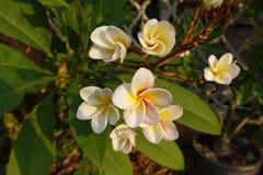 La plumeria fiorisce (frangipane, fiori, tropicali) immagini stock