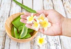 La plumeria fiorisce la tenuta disponibila con le sedere vaghe delle foglie di vera dell'aloe Immagini Stock