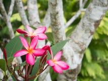 La plumeria fiorisce sul fondo verde del bokeh dell'albero della foglia Fotografia Stock