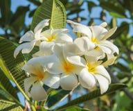 La plumeria (frangipane) fiorisce sull'albero Immagine Stock