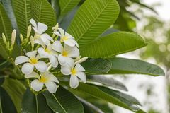La plumeria fresca fiorisce, fragran giallo bianco delle fioriture del fiore altamente immagini stock libere da diritti