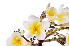 La plumeria gialla fiorisce isolato su un fondo bianco Fotografie Stock Libere da Diritti