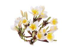 La plumeria gialla fiorisce isolato su un fondo bianco Fotografia Stock Libera da Diritti