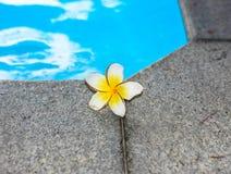 La plumeria si avvicina alla piscina Fotografia Stock