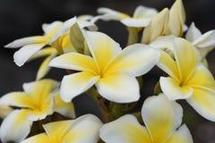 La plumeria tropicale fiorisce dall'isola delle Hawai fotografie stock