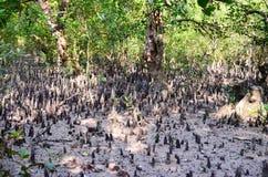 La plus grande forêt de palétuvier du monde au Bangladesh tout près une belle rivière images stock
