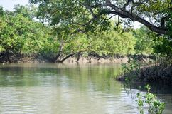 La plus grande forêt de palétuvier du monde au Bangladesh tout près une belle rivière Image stock