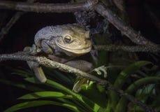 La plus grande grenouille d'arbre cubaine du monde la nuit La grenouille d'arbre cubaine (septentrionalis d'Osteopilus) Image stock