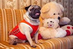 La plus petite race du chien dans des vêtements Image libre de droits