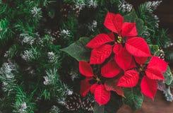 La poinsettia de Noël avec le sapin s'embranche sur le fond rustique Image modifiée la tonalité photo stock