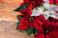 La poinsettia rouge et blanche d'étoile de Noël fleurit, décor de Noël images stock