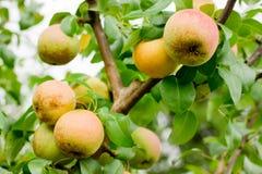La poire juteuse accrochant sur la branche d'arbre l'été porte des fruits jardin Image stock