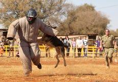 La police a formé le chien alsacien, homme courant capitonné par prise vers le bas dans le sho Image libre de droits
