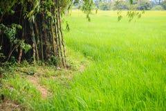 La policoltura piantando gli alberi di bambù nelle risaie è agricul Fotografia Stock