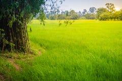 La policoltura piantando gli alberi di bambù nelle risaie è agricul Immagini Stock