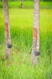 La policoltura piantando gli alberi di gomma nelle risaie è agricul Fotografie Stock Libere da Diritti