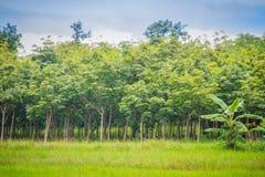La policoltura piantando gli alberi di gomma nelle risaie è agricul Immagine Stock