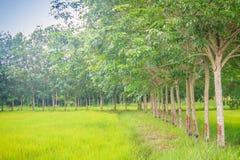 La policoltura piantando gli alberi di gomma nelle risaie è agricul Fotografie Stock