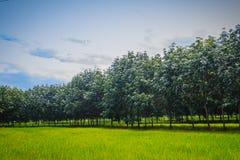 La policoltura piantando gli alberi di gomma nelle risaie è agricul Fotografia Stock